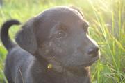 Красивый щенок в дар