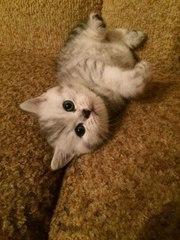 Шотландский котенок,  скоттиш страйт,  вискас,  мальчик.